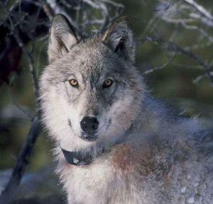 1600px-radio_collared_gray_wolf_on_snow