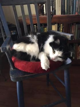 Freya-Black and white cat in blue wood chair. Red cushion.