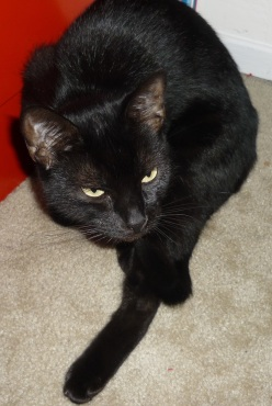 Popoki-Black cat on white rug.